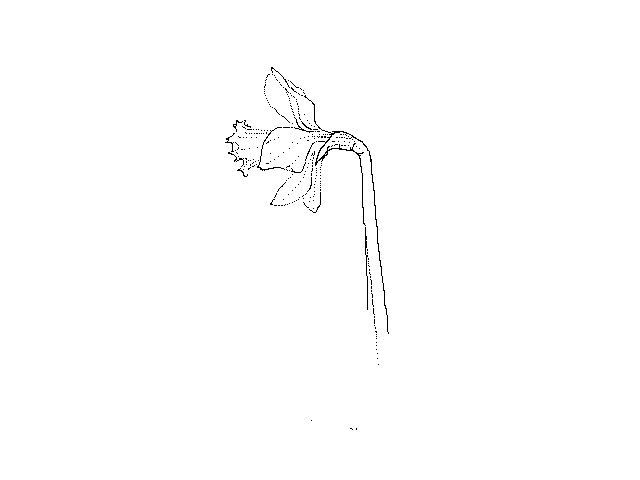 #1256 Daffodil Already?